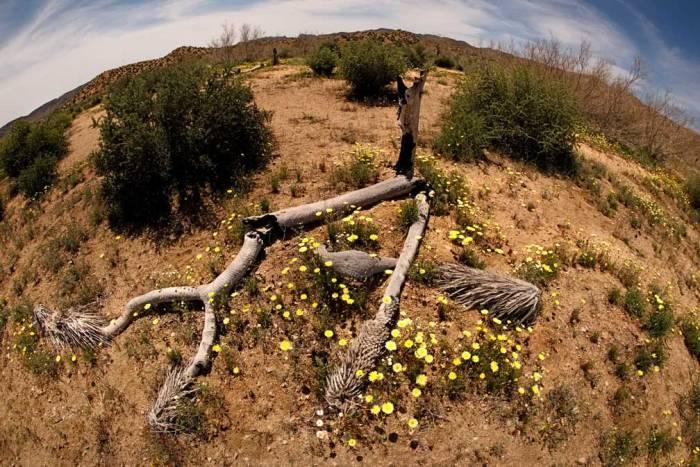 dead-tree-daisy